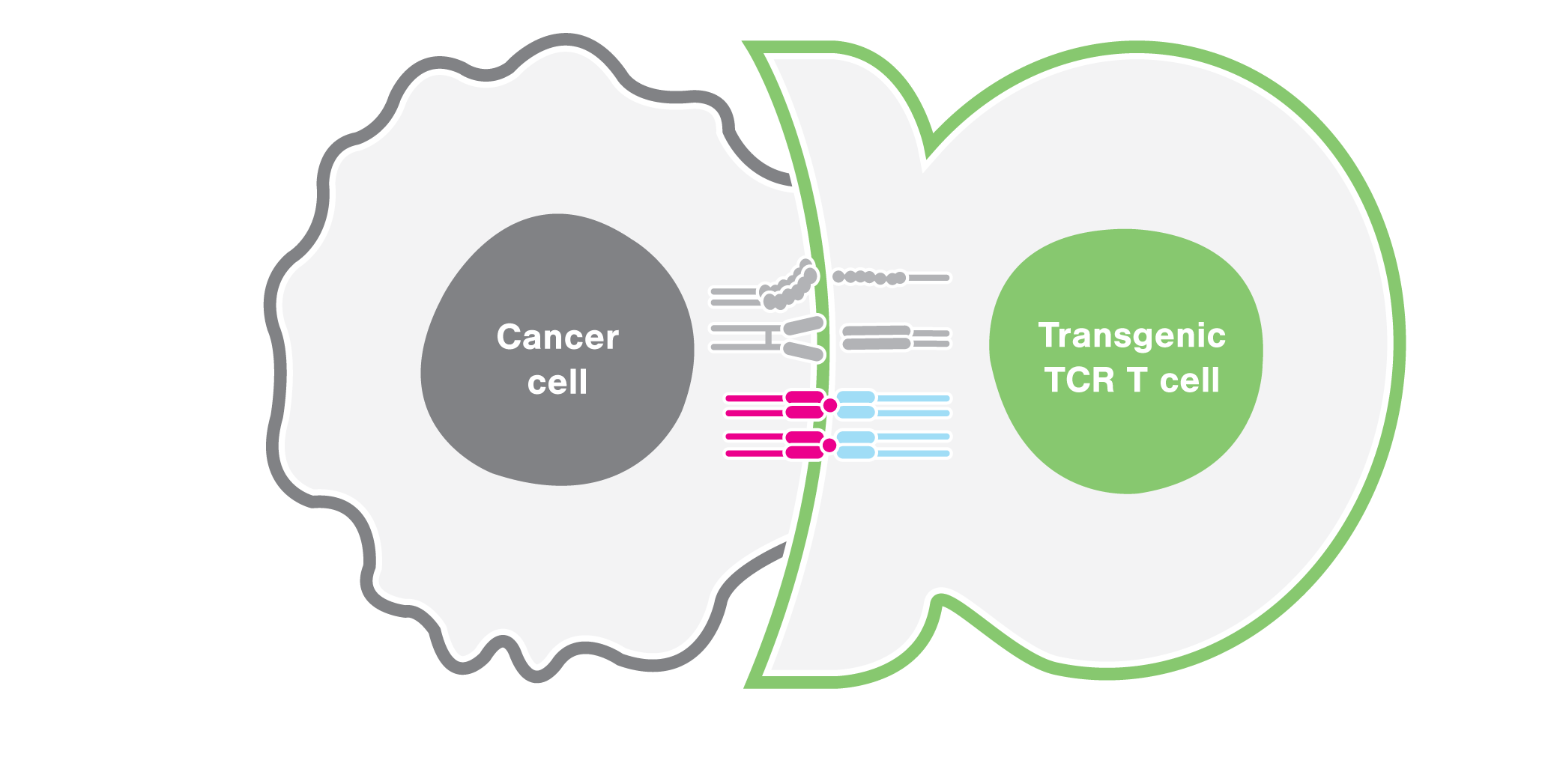 TCR-dependent T cell